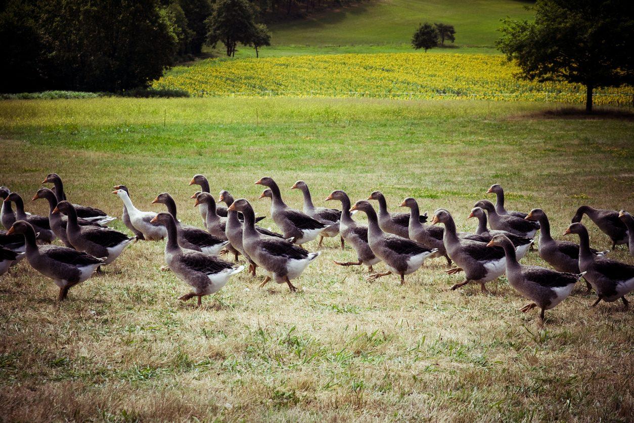 New york vieta il foie gras