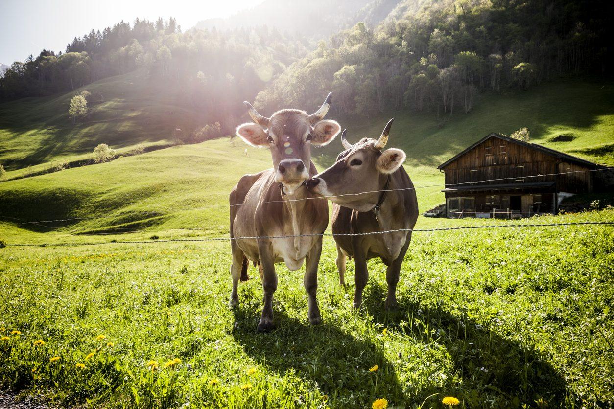 Adotta una mucca delle malghe trentine: fai beneficenza e ricevi squisiti formaggi
