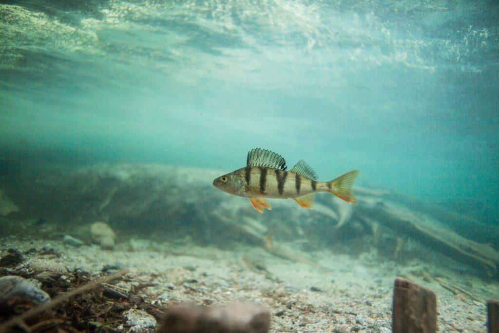 pesce-persico-lago-vittoria