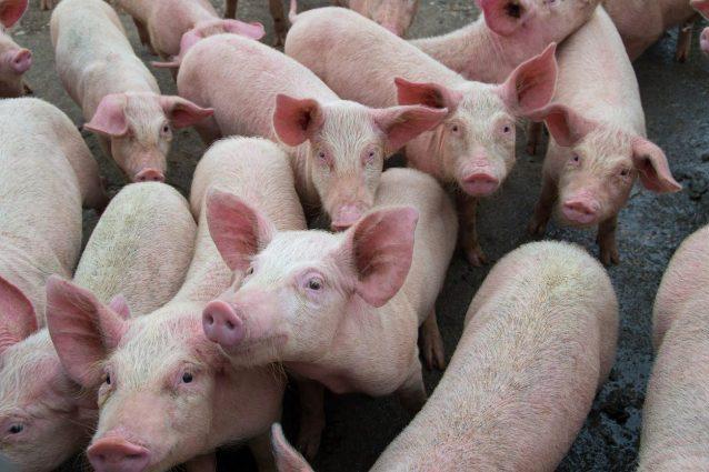 Peste suina: la Guardia di Finanza sequestra 10 kg di carne di maiale illegale a Padova