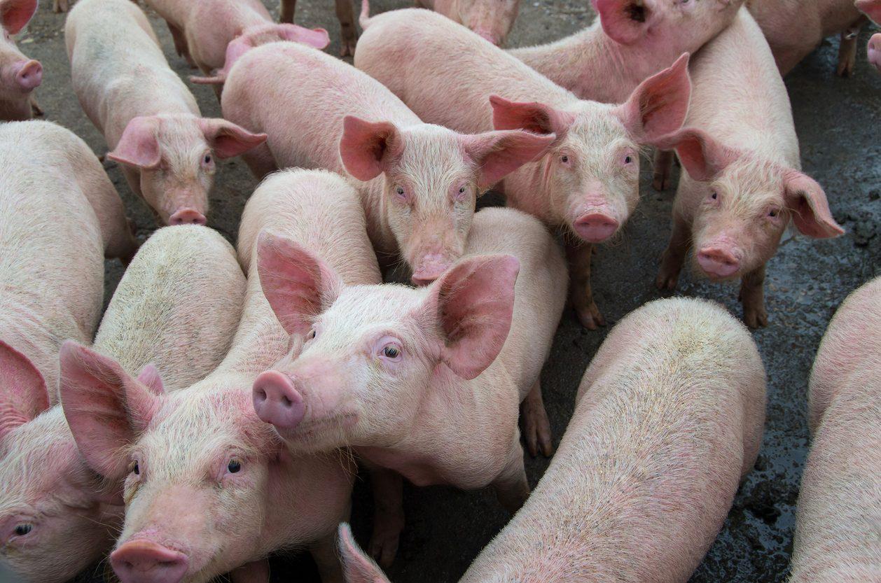 Rischio peste suina: GdF sequestra 10 tonnellate di carne di maiale illegale a Padova