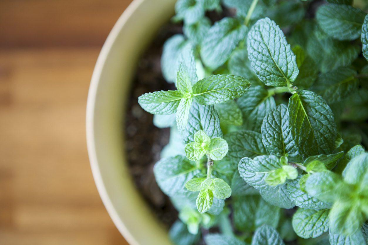 Rimedi naturali per la tosse: menta