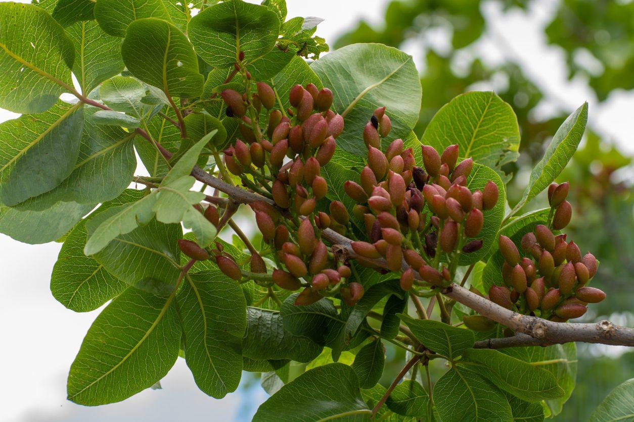 pistacchio di bronte dop