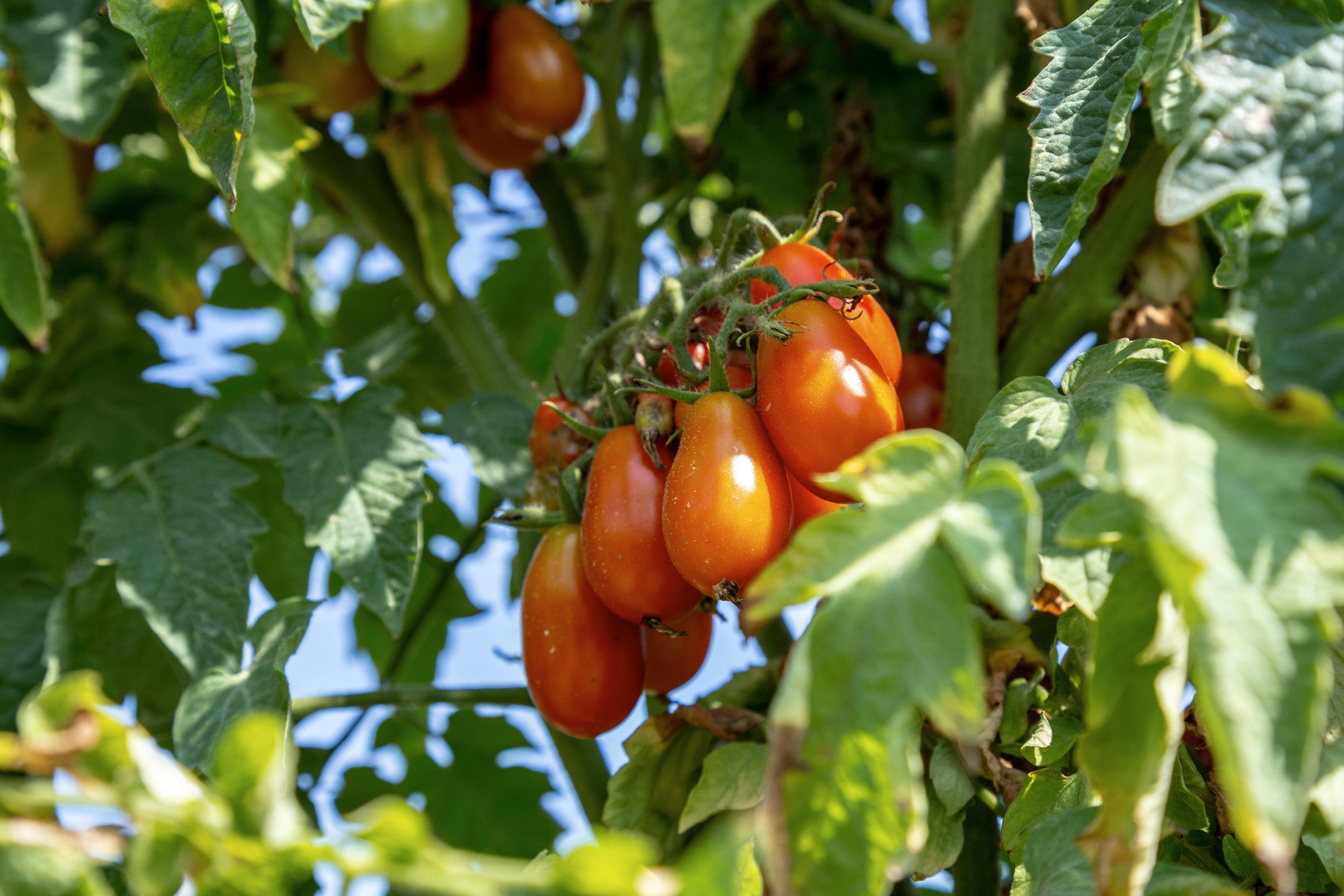 Il Pomodoro Cannellino Flegreo, l'ecotipo che cresce nelle terre della Sibilla Cumana
