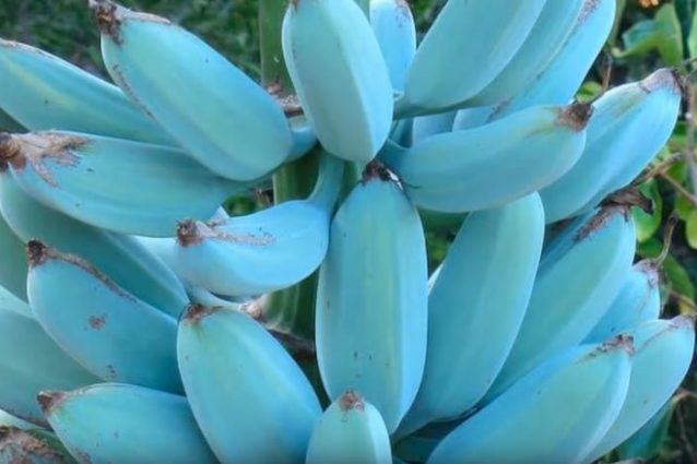 Lo strano caso della Banana Blue Java: la banana blu che sa di vaniglia