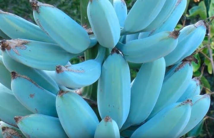 Lo strano caso della Banana Blue Java: la banana blu che sa di gelato alla vaniglia