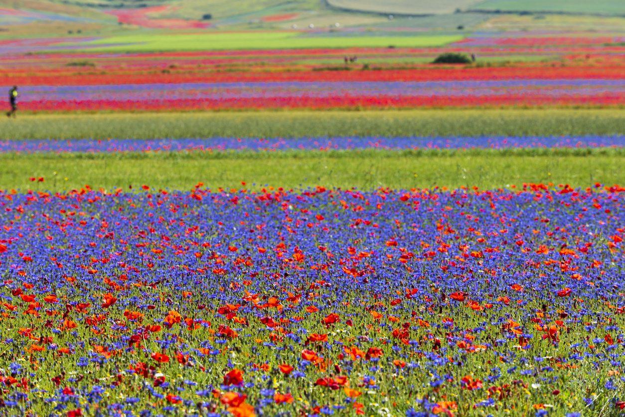 La Lenticchia di Castelluccio di Norcia Igp: il legume prezioso che dà vita all'arcobaleno