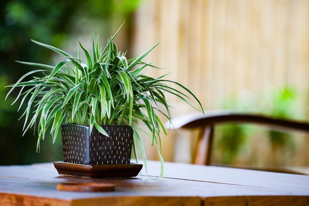 Piante che purificano l'aria, pianta ragno