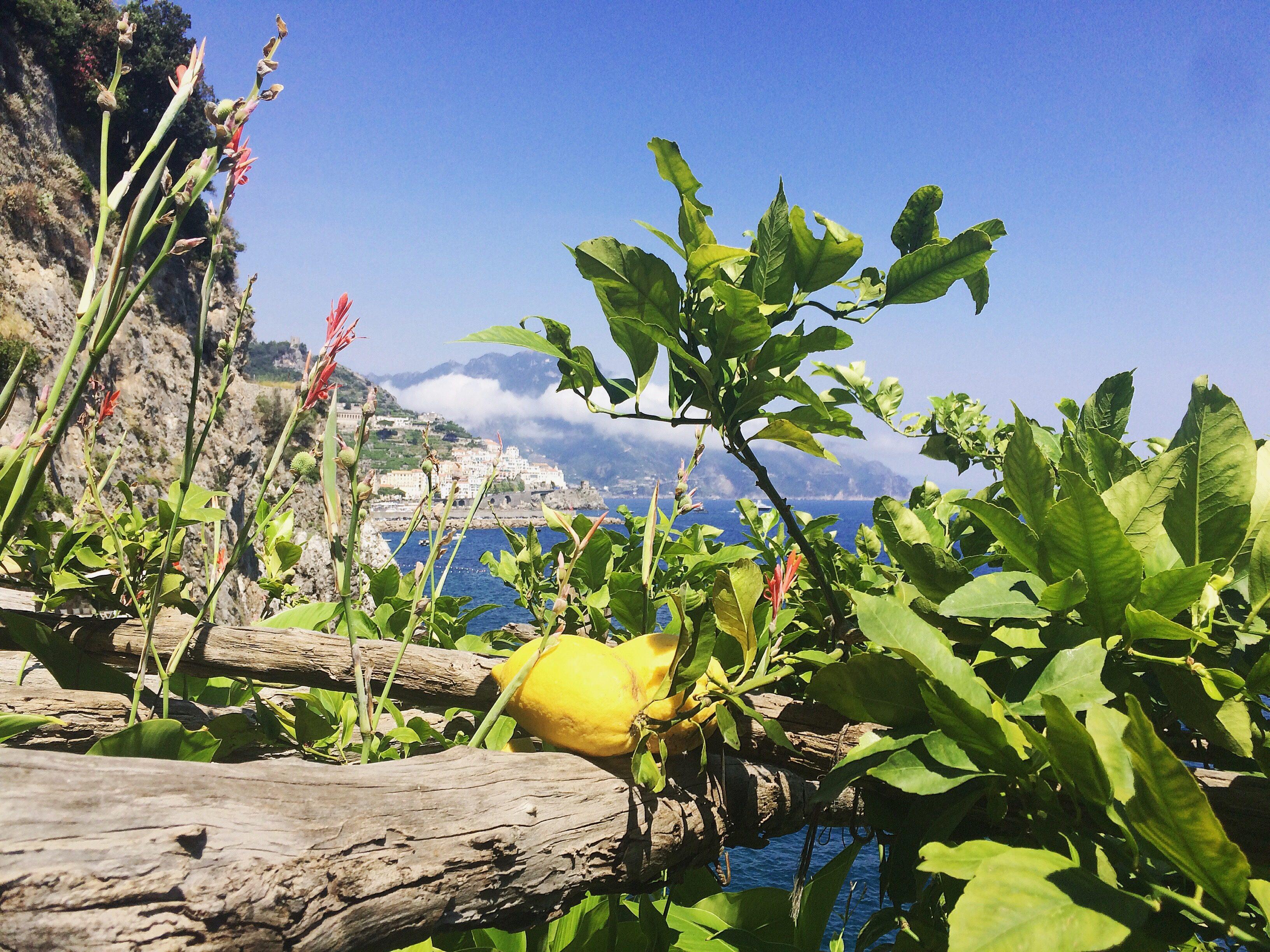 Sfusato Amalfitano, l'oro giallo della Costiera: il figlio delle Repubbliche Marinare