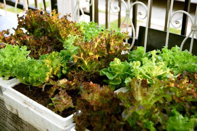 Come coltivare la lattuga in casa