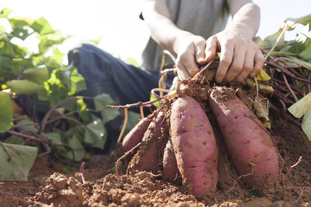 patate dolci: proprietà