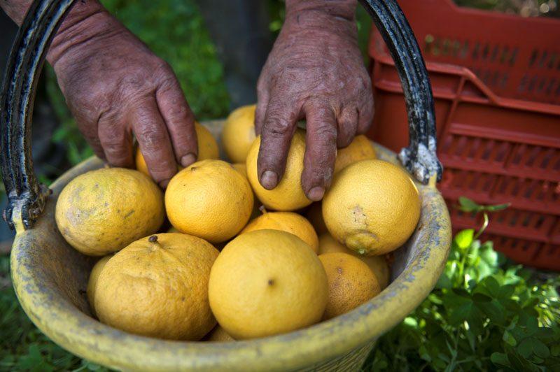 Il bergamotto, l'oro giallo-verde della Calabria: caratteristiche e usi