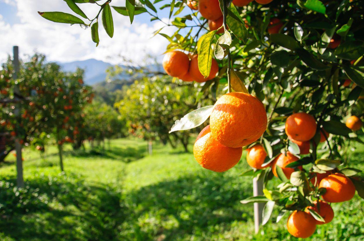 mandarino: proprietà e usi
