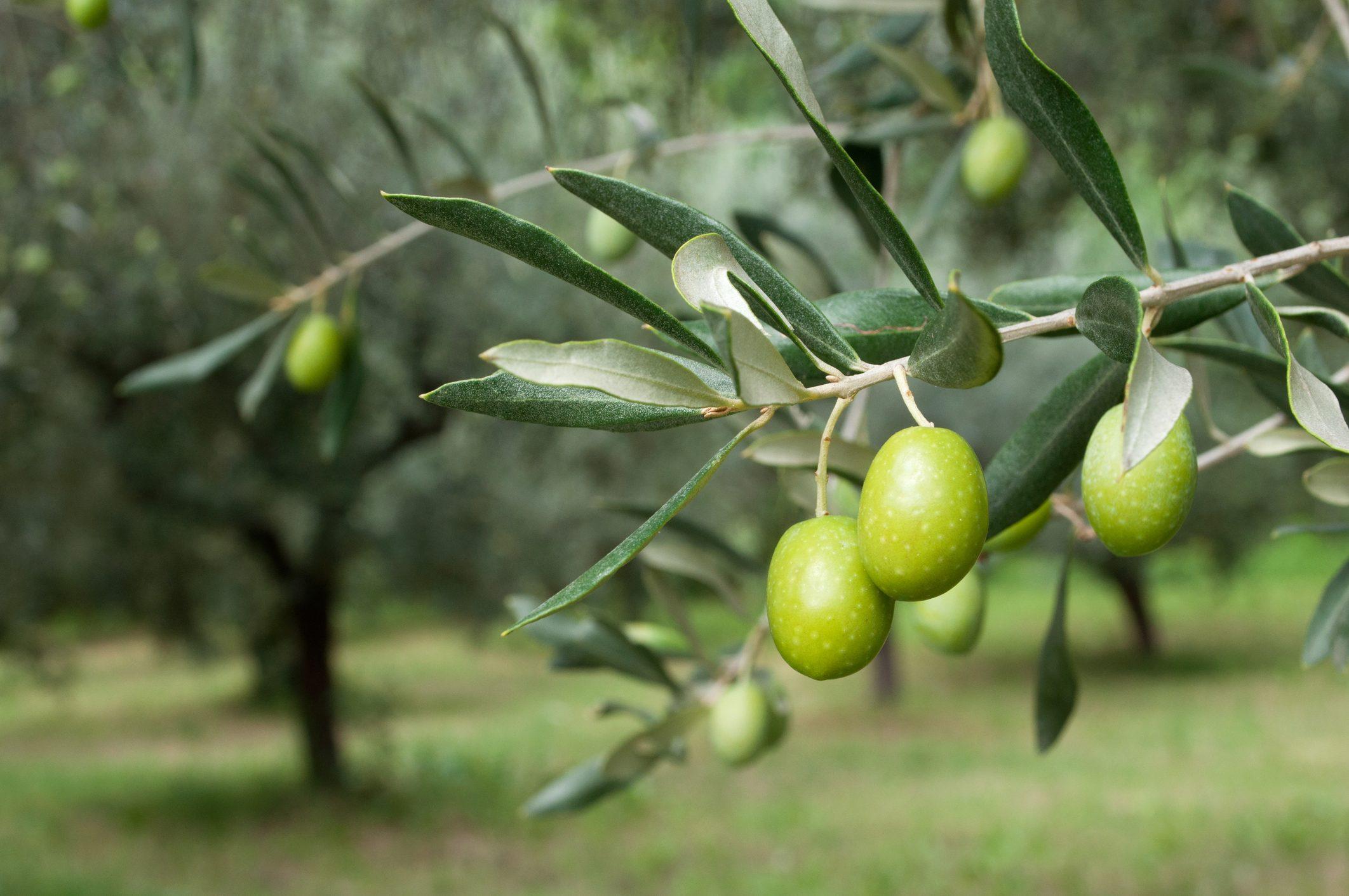 Adottate un ulivo in Calabria: in cambio riceverete 12 bottiglie d'olio