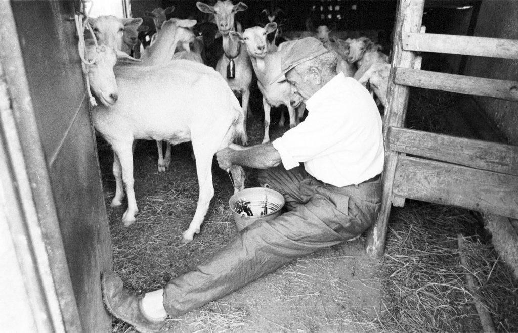 Il Signor Carmine Monzo nella fase di mungitura delle capre del Cilento