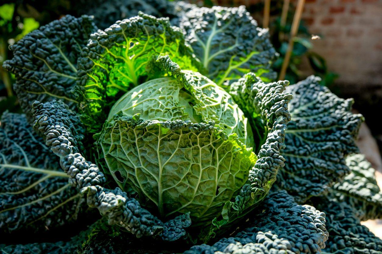 Verza: proprietà, benefici e come usarla al meglio in cucina