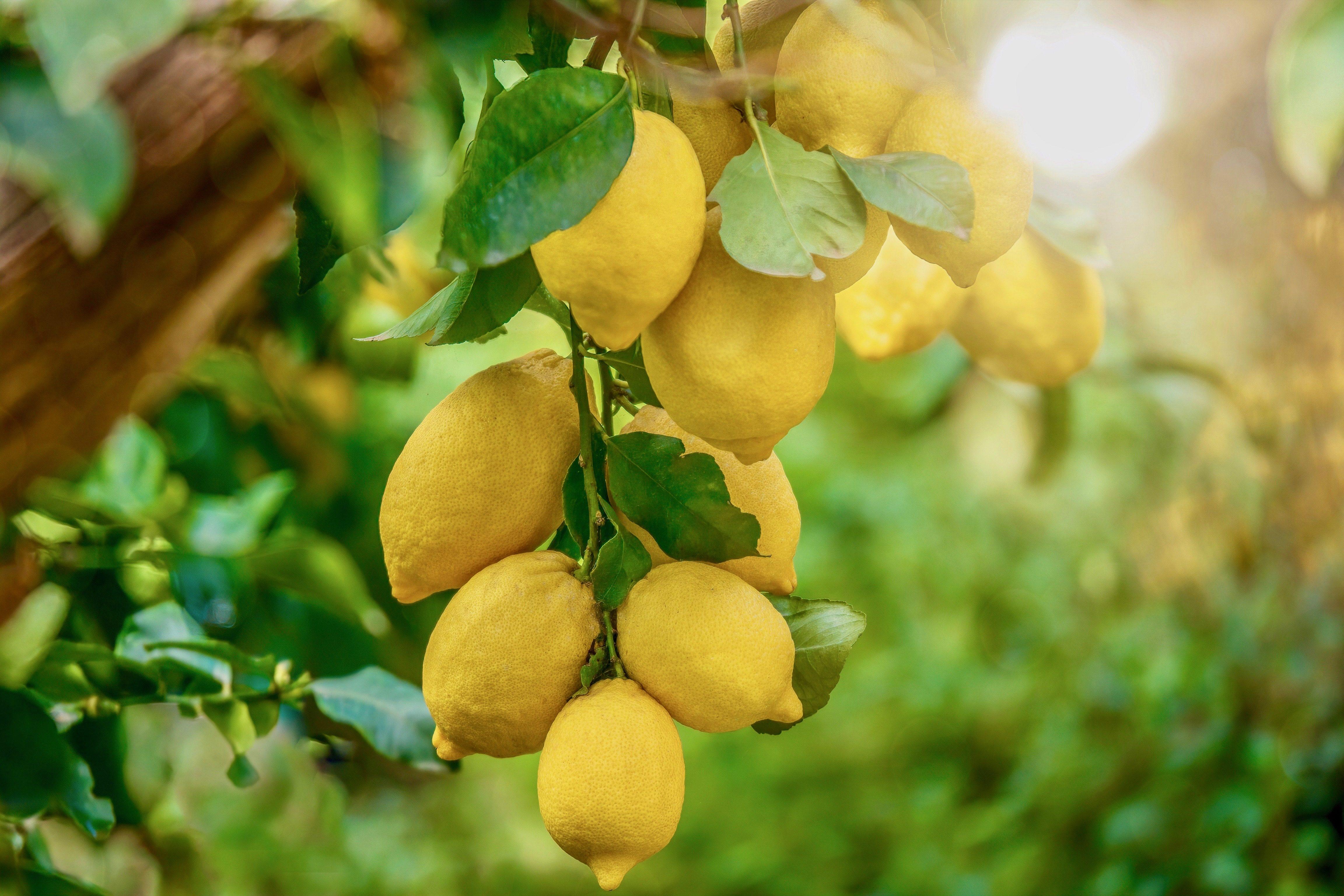 Interdonato di Messina: è siciliano il limone preferito dalla Regina Elisabetta