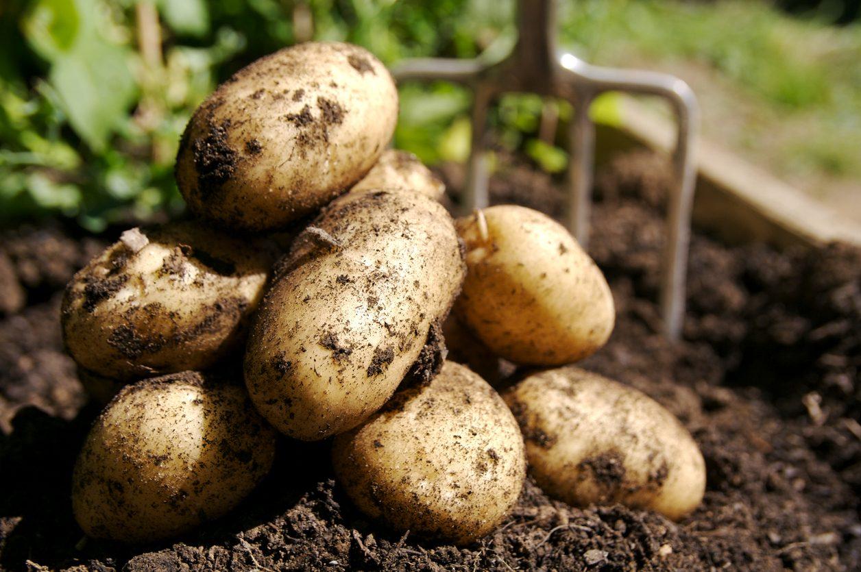 patate-storia-parmentier
