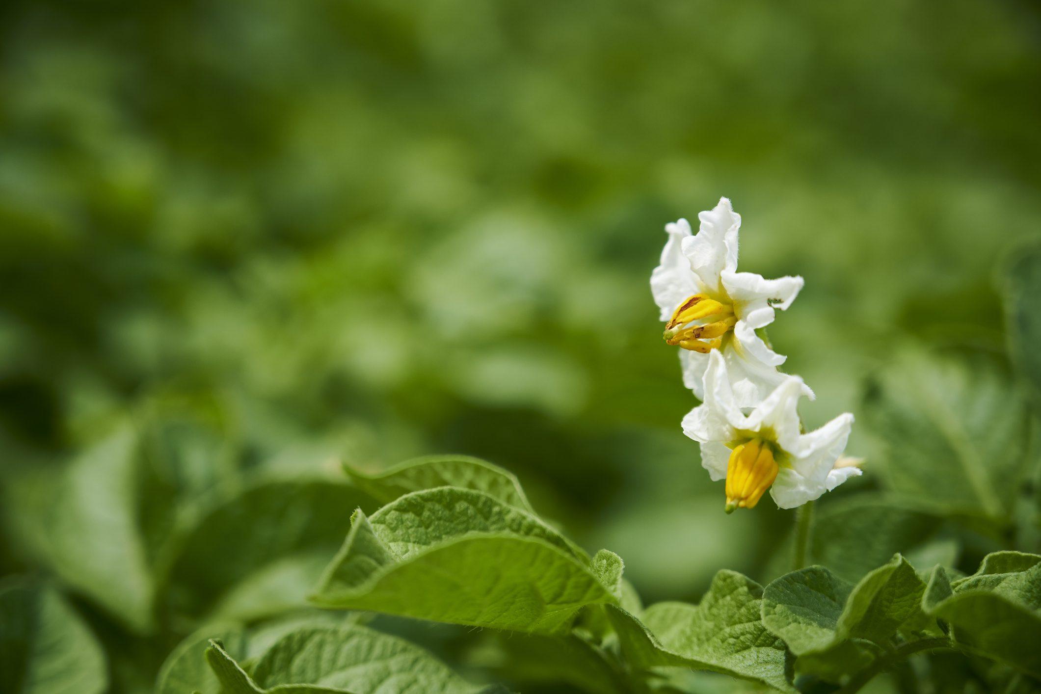 pianta-patate-storia