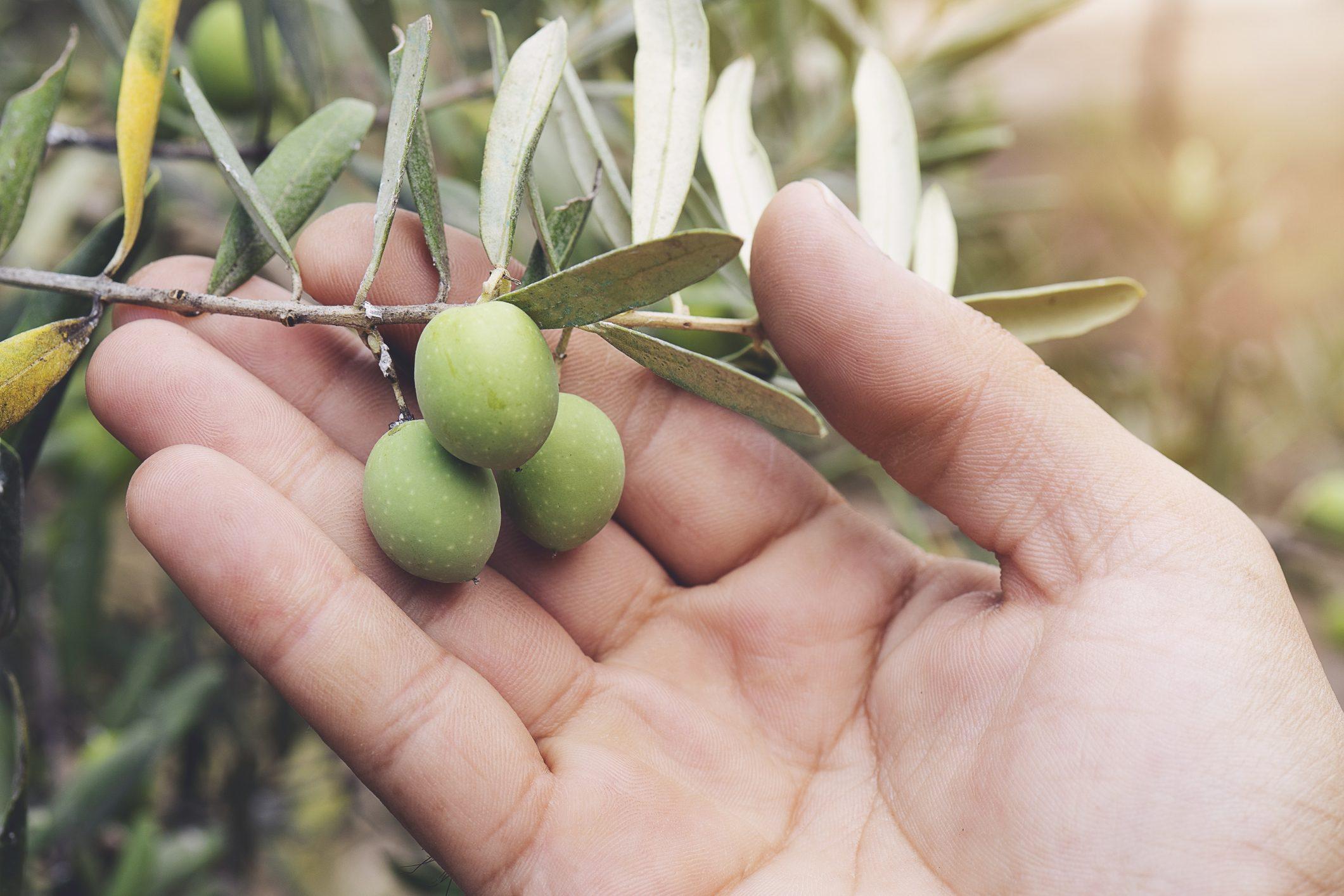 """A Benevento è stato scoperto un """"nuovo"""" tipo di olivo"""