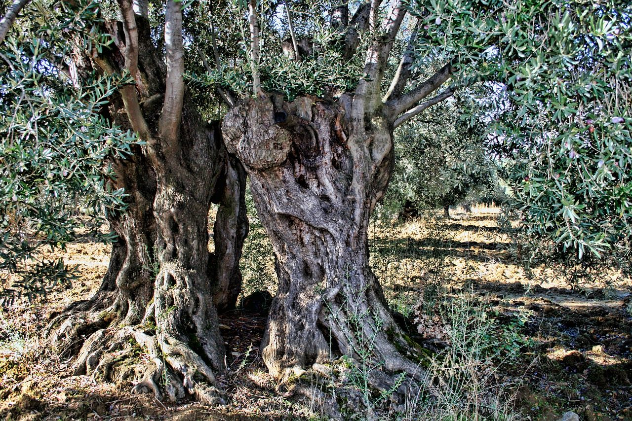 In Toscana il progetto per adottare e salvaguardare gli ulivi locali
