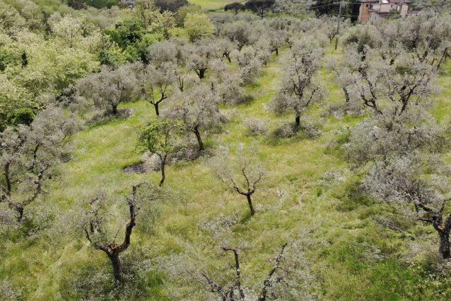 adotta un ulivo toscana ager oliva