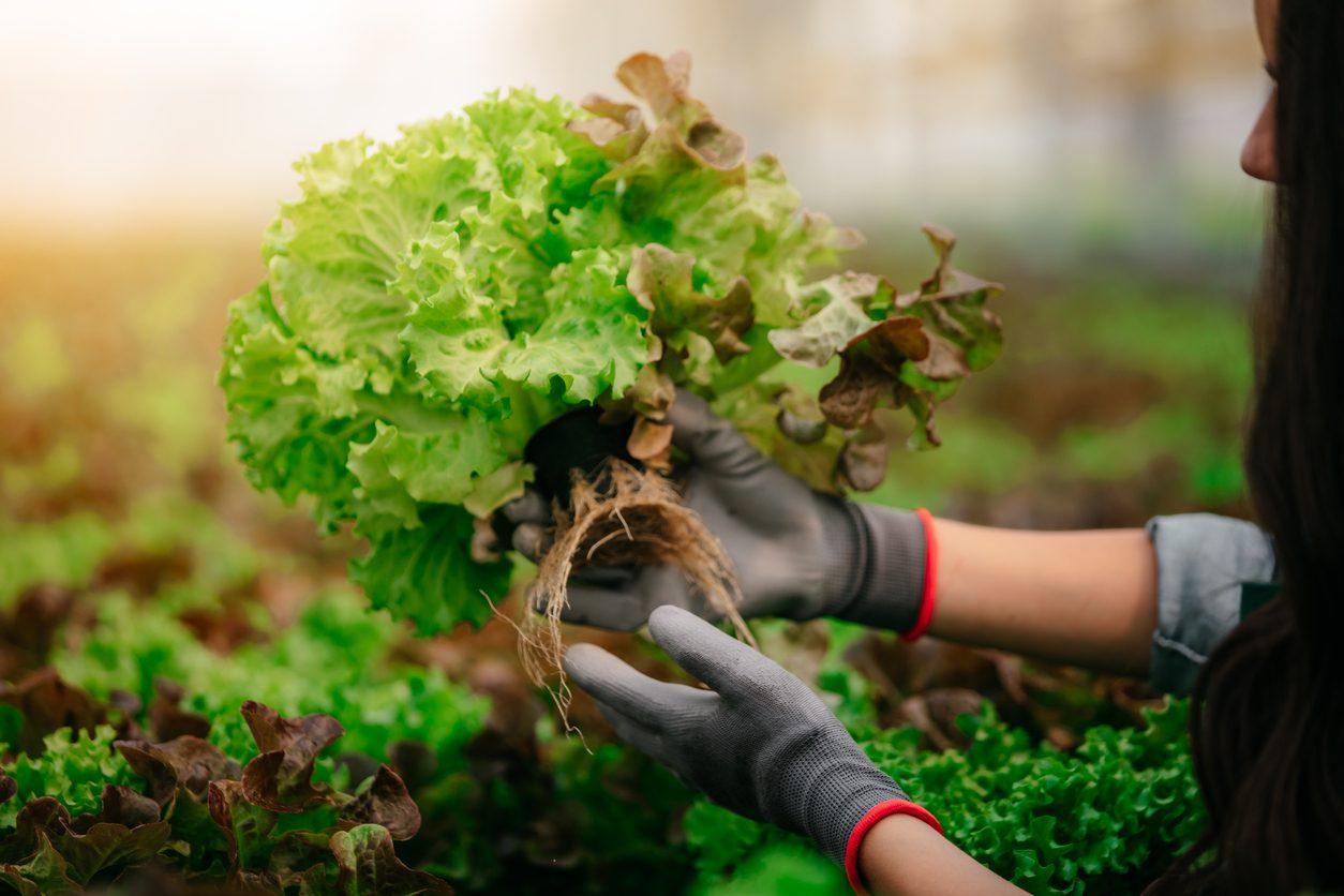 Lattuga: proprietà, benefici e usi in cucina