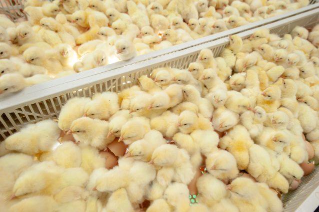 pulcini allevamento galline coop tutela