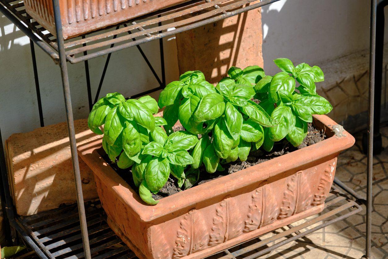 Come coltivare il basilico sul balcone: consigli e trucchi