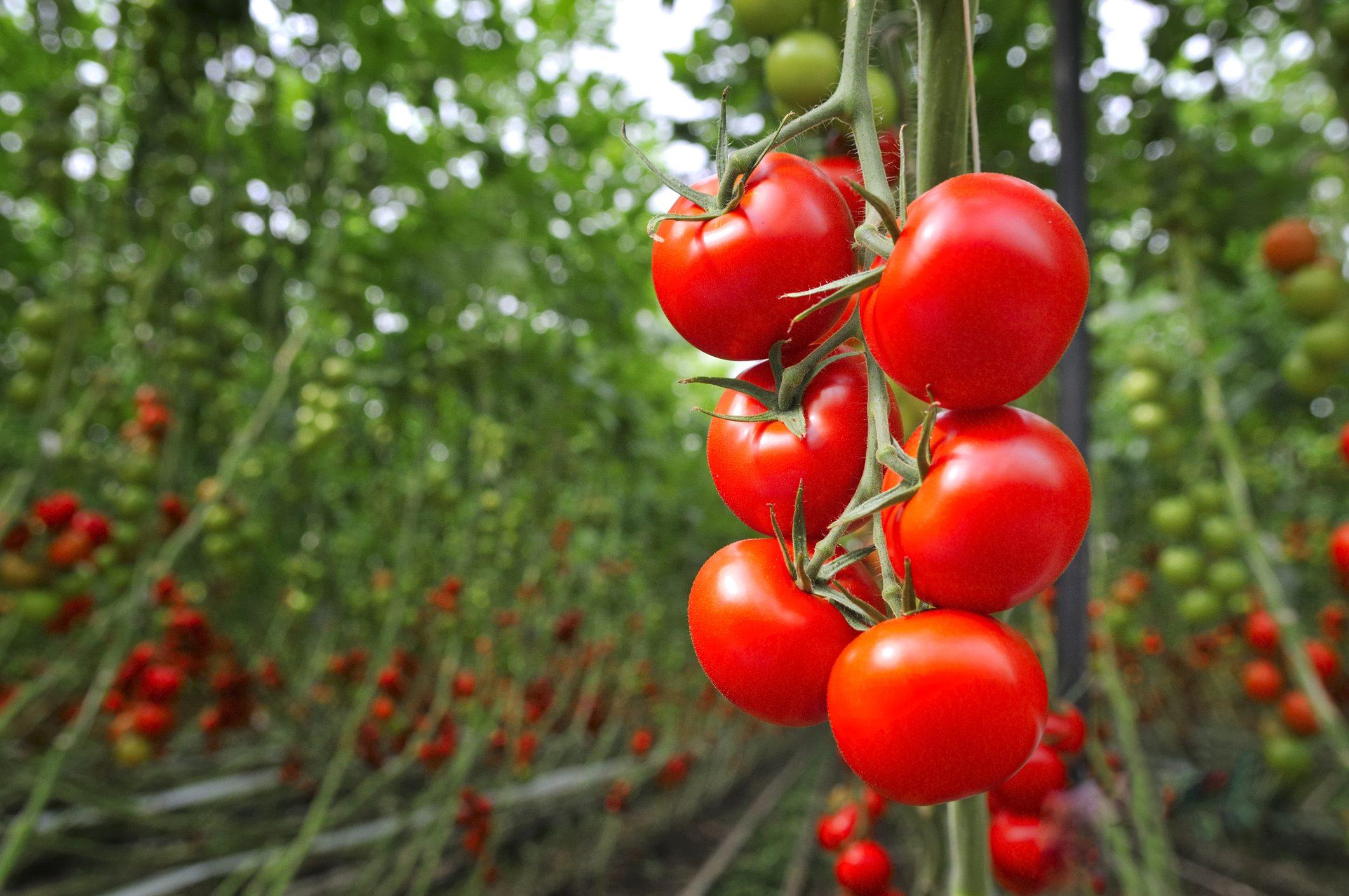 pomodori-storia