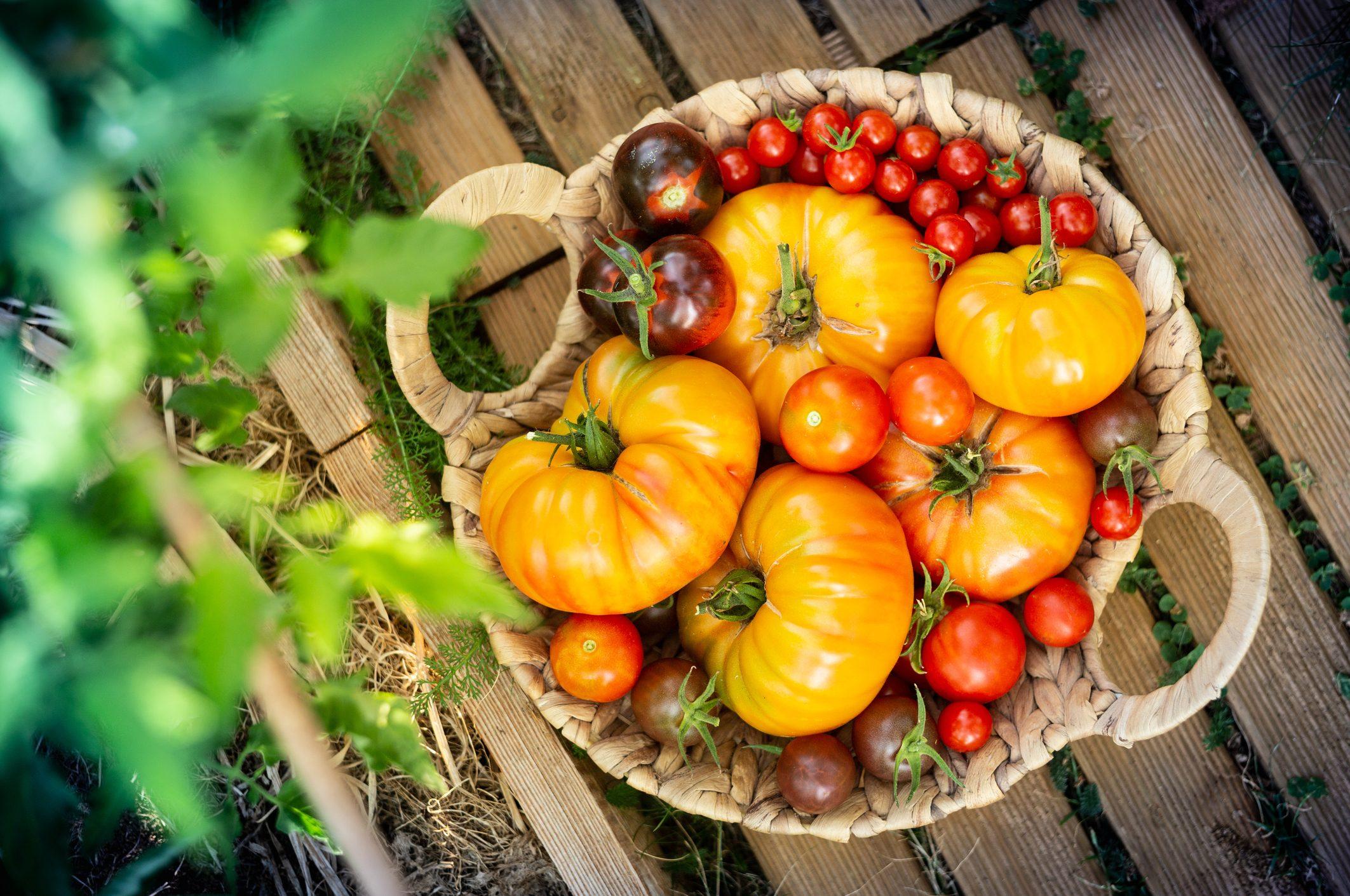pomodori-varietà