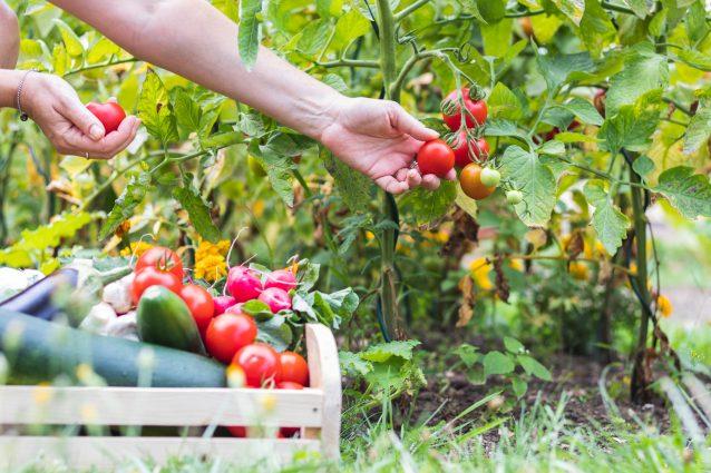 verdure dell'orto raccolta pomodori