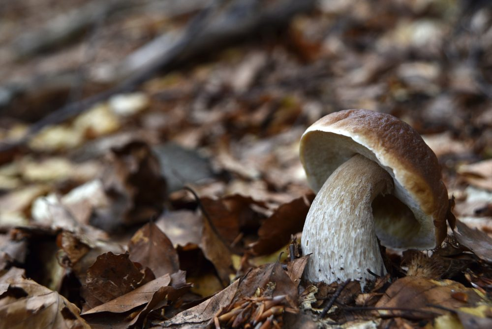 Fungo di Borgotaro, l'unico fungo Igp italiano: storia, caratteristiche e ricette