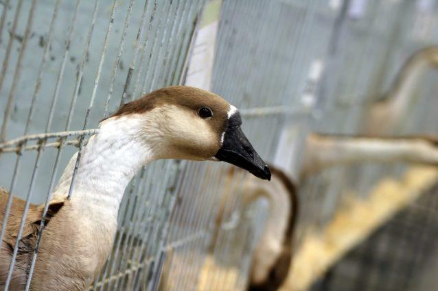 allevamento oche per foie gras