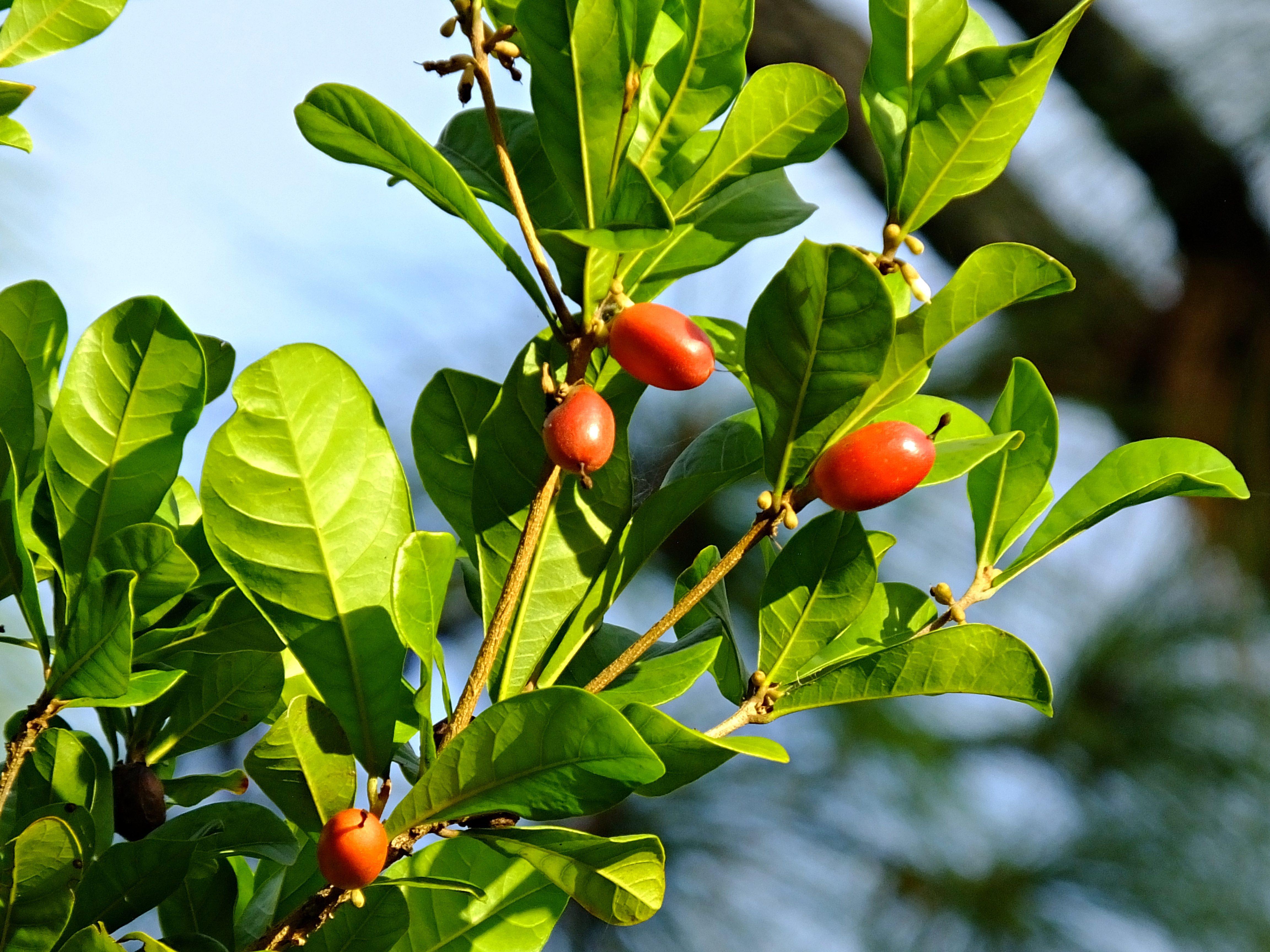 """Che cos'è il frutto miracoloso: la bacca """"magica"""" che trasforma i sapori"""
